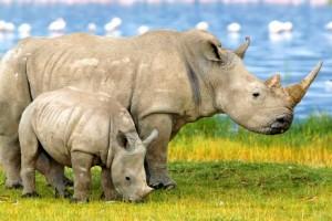 Rhinos-featured