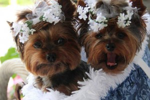yorkshire-terrier-dogs2